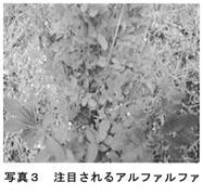 写真3 注目されるアルファルファ