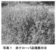 写真1 赤クローバ品種展示ほ