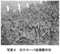 写真2 白クローバ品種展示ほ