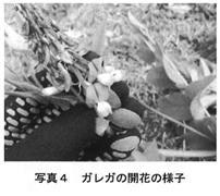 写真4 ガレガの開花の様子